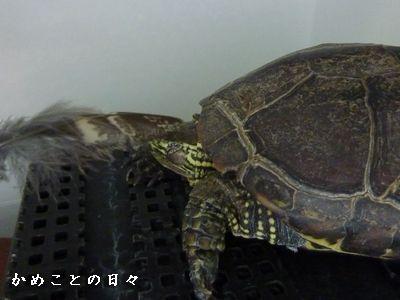 P1420219-hanesuke.jpg