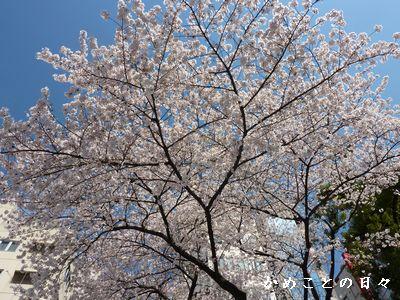P1490652-sakura.jpg