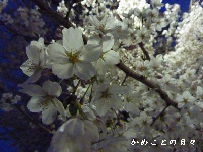 P1490774-sakura.jpg