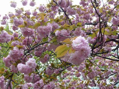 P1500814-sakura.jpg