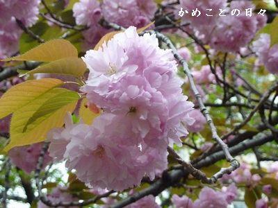 P1500816-sakura.jpg