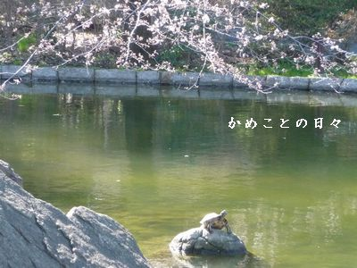 P1620203-sakura.jpg