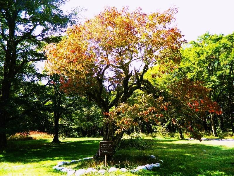 徳沢のマユミの木