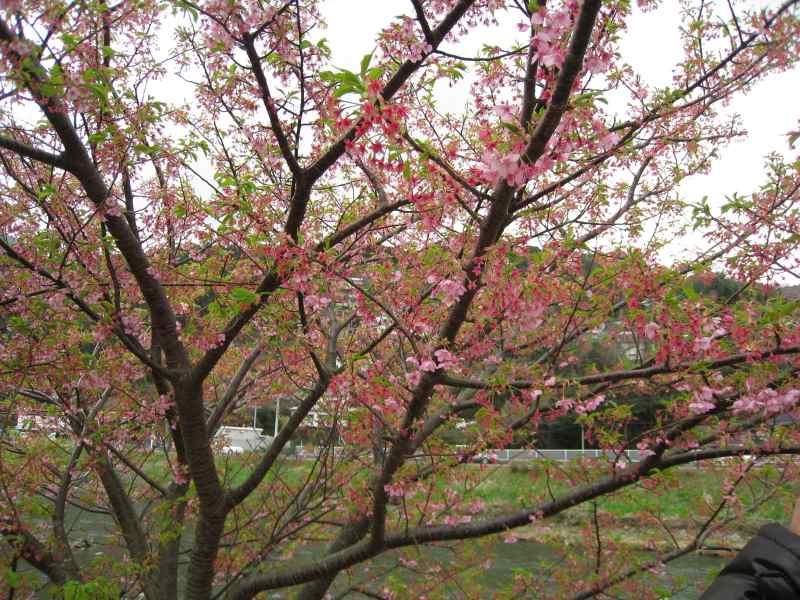 河津桜ツー2009-13