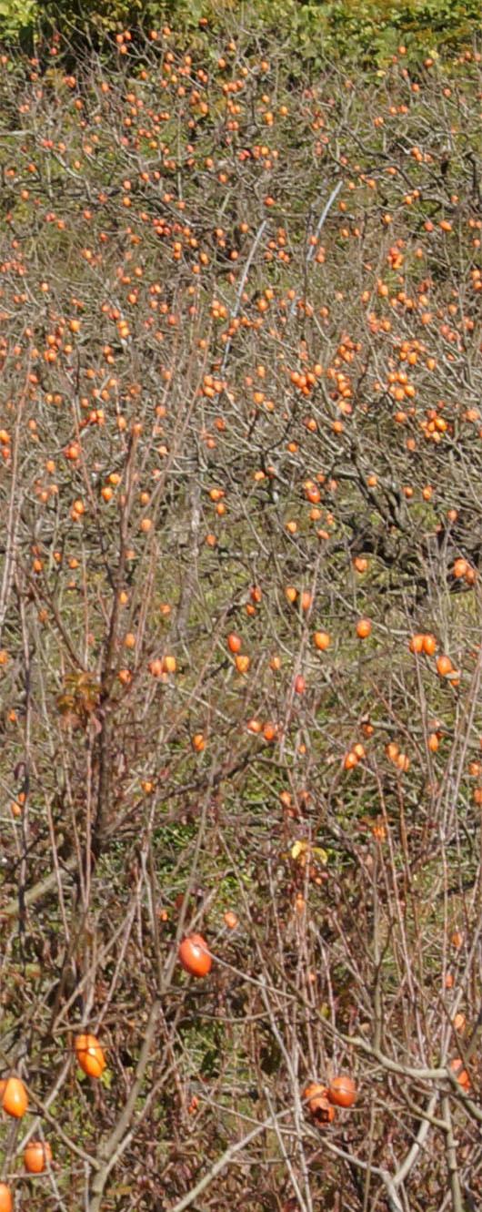 幸田町の筆柿