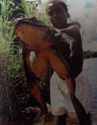 世界で一番大きいカエル ゴライアスガエル 37cm