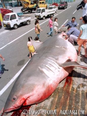 でかいサメ