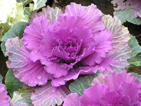 decorativekale1020032.jpg