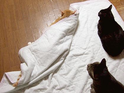 床暖カーペットに一番乗りなノル、バジル、はち