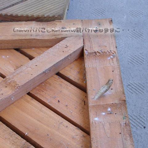 木製タイルの裏にアゲハの蛹の殻 2011-09-24