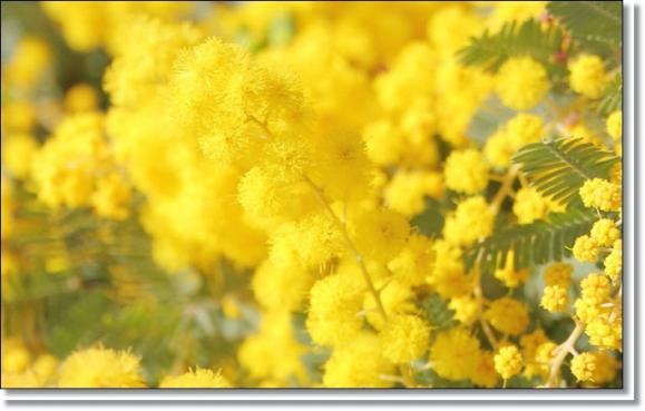 mimoza-1