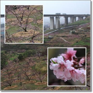 富田の桃畑--1