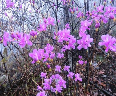 ミツバツツジも開花