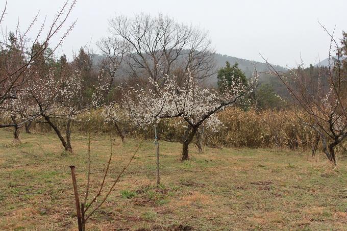 20120318 満汐梅林 花見祭り_002