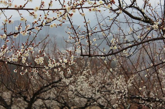 20120318 満汐梅林 花見祭り_006