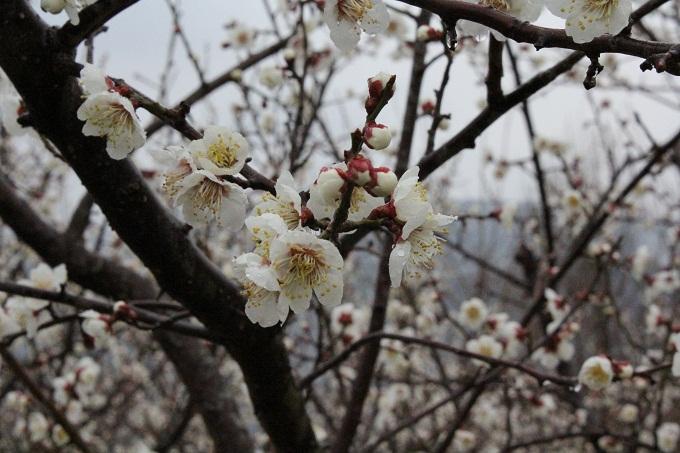 20120318 満汐梅林 花見祭り_007
