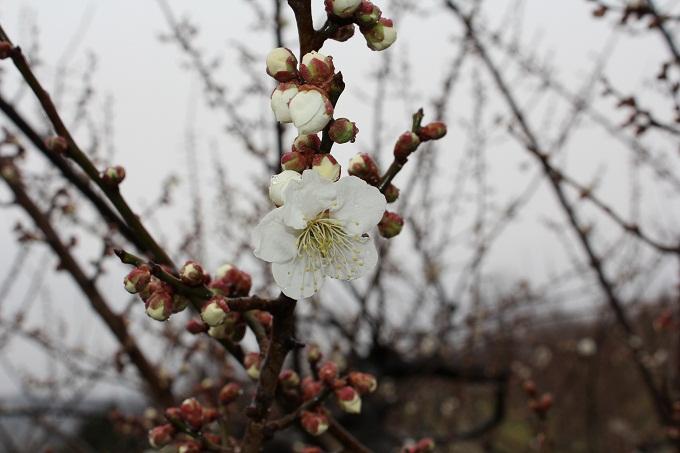 20120318 満汐梅林 花見祭り_009