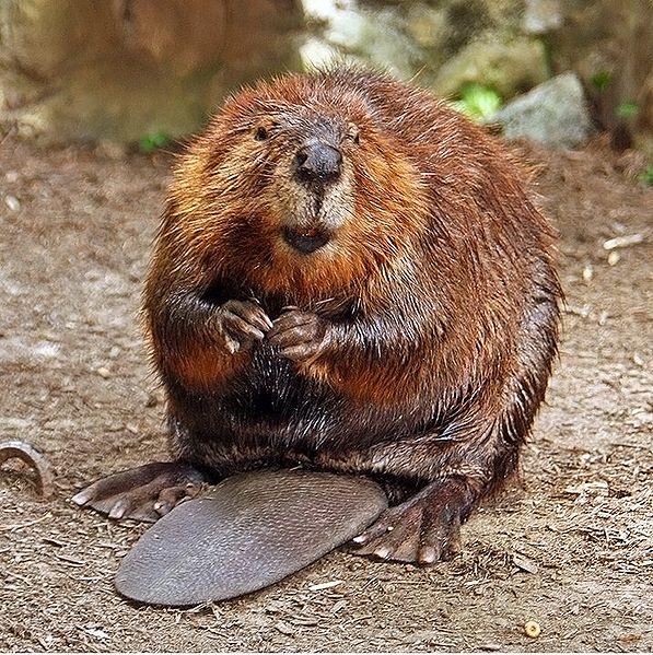597px-American_Beaver.jpg