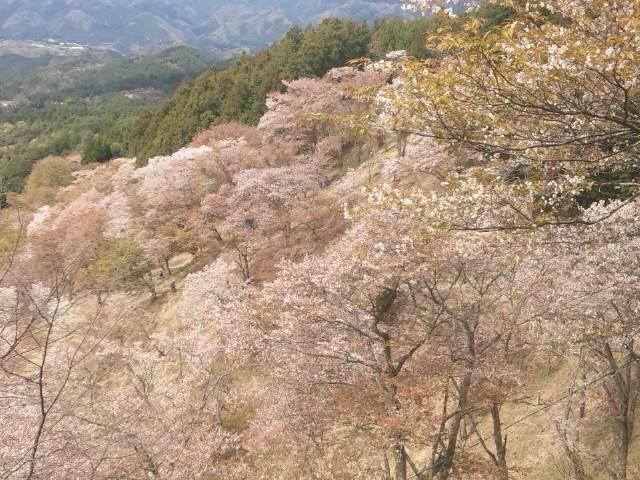 上千本の桜13
