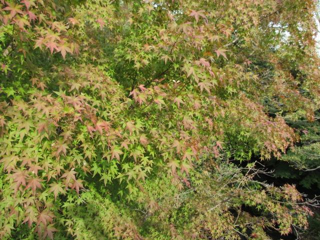 吊り橋の紅葉3