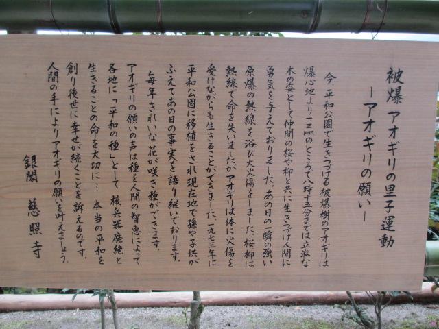 銀閣寺 アオギリの願い