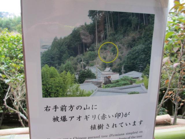 銀閣寺 アオギリの願い2