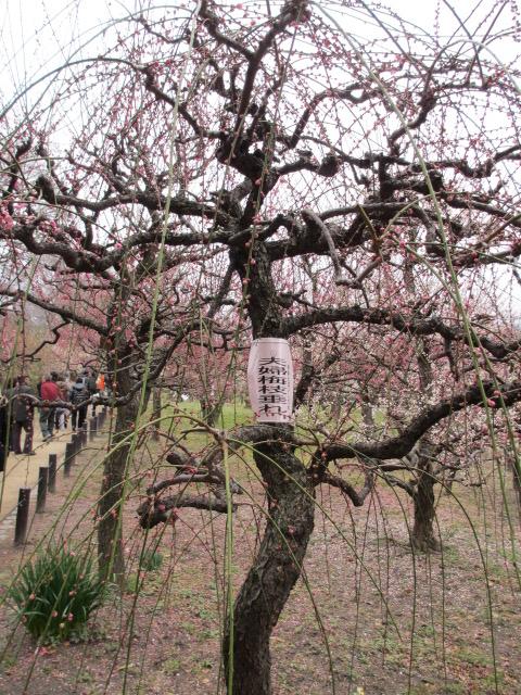 大阪城公園 夫婦梅枝垂れ