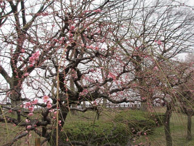 大阪城公園 梅林2