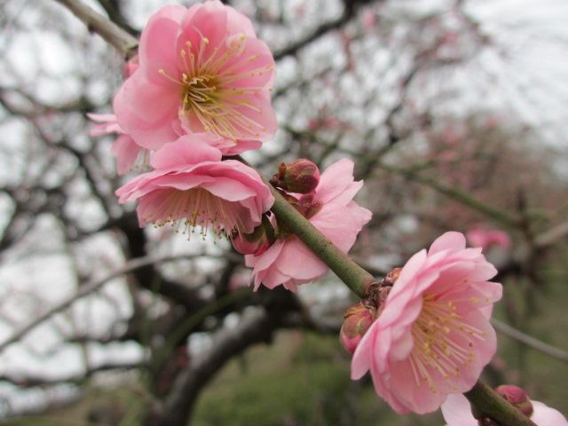 大阪城公園 梅林3
