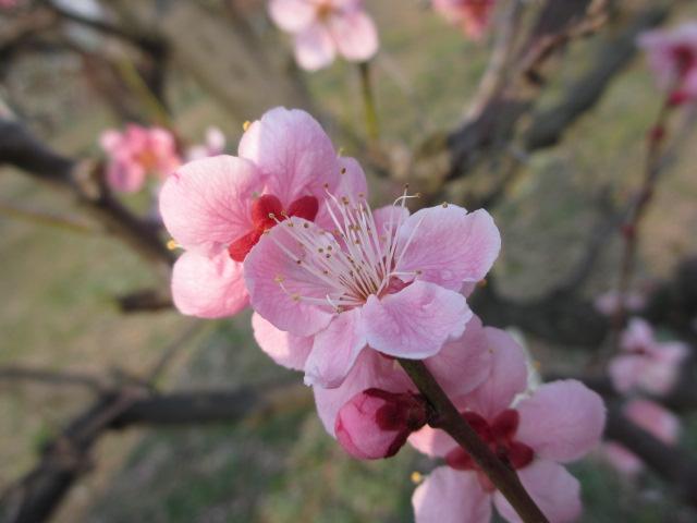 大阪城公園 紅冬至2