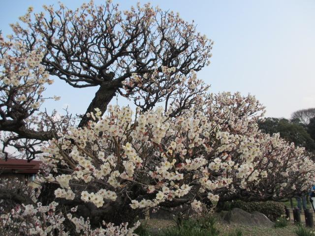 大阪城公園 梅林15