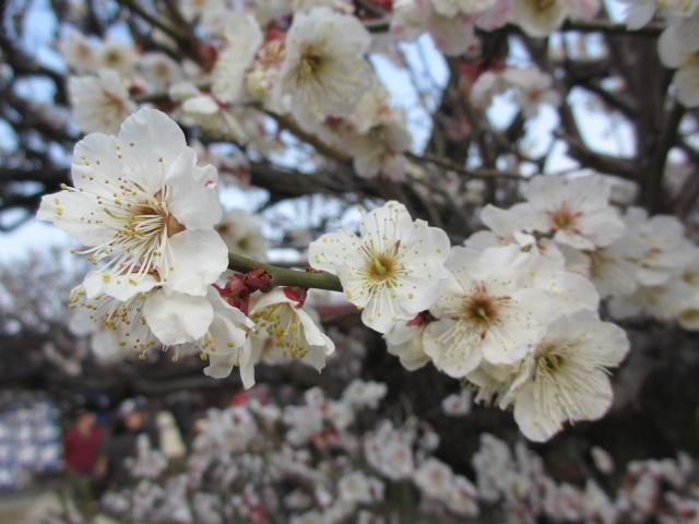 大阪城公園 梅林16
