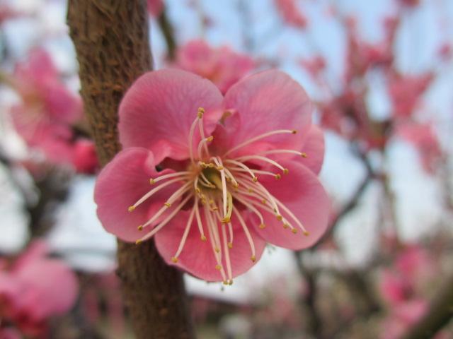 大阪城公園 梅林19