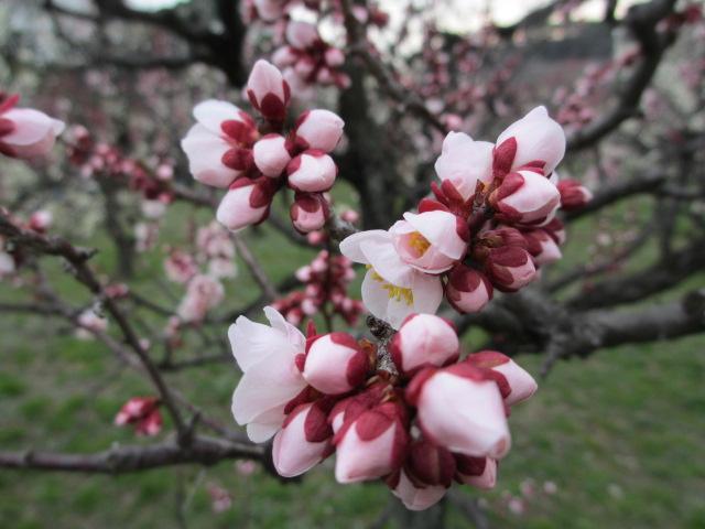 大阪城公園 梅林25