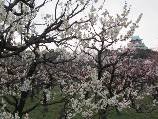 大阪城公園 梅林越しに大阪城2