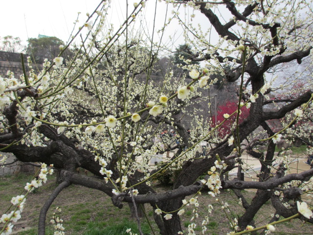 大阪城公園 緑萼