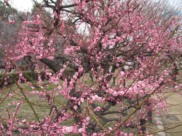 大阪城公園 梅林27