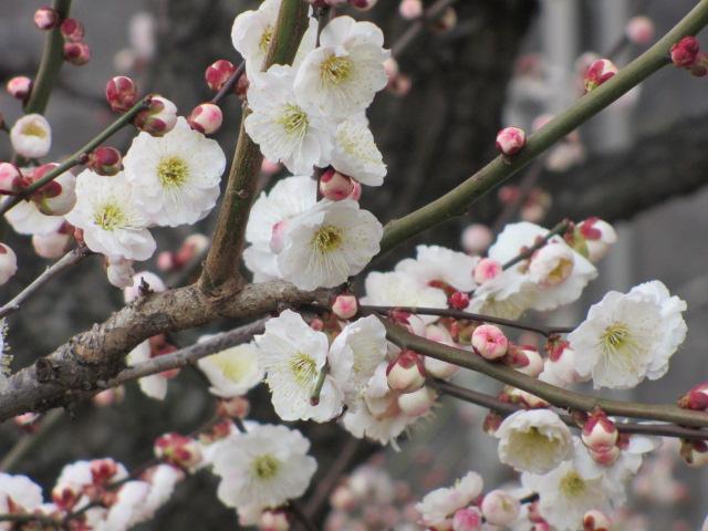 大阪城公園 梅林30