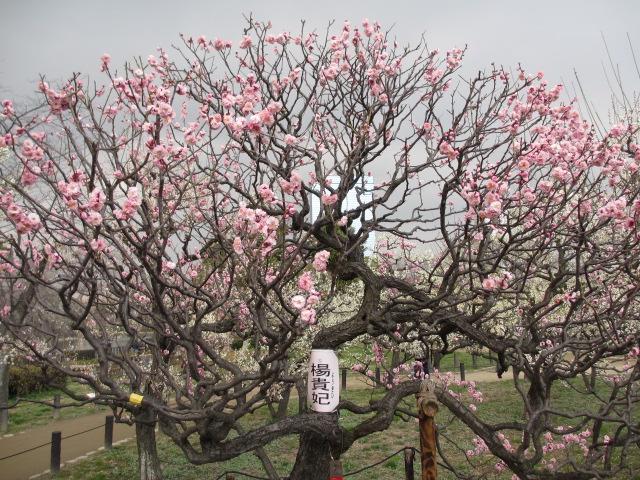 大阪城公園 楊貴妃