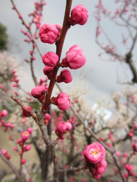 大阪城公園 梅林31