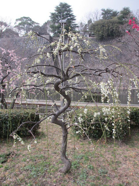大阪城公園 緑萼枝垂れ