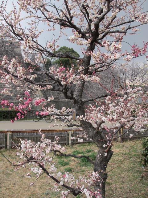 大阪城公園 梅林33