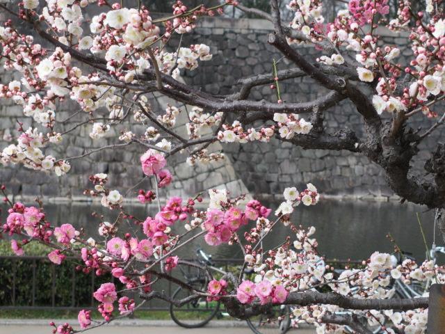 大阪城公園 梅林34