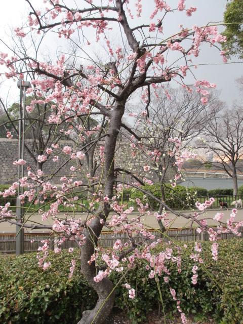 大阪城公園 梅林35