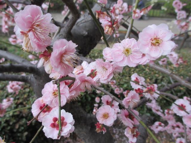 大阪城公園 梅林36