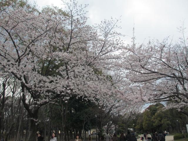 JR大阪城公園駅 階段下の桜