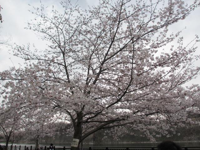 大阪城公園 外濠前 桜