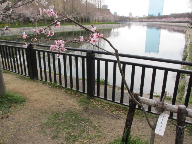 大阪城公園 外濠沿い アーモンド
