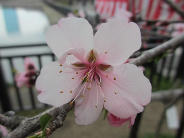 大阪城公園 外濠沿い アーモンド2