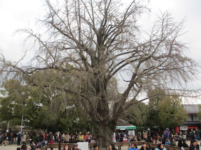大阪城公園 大きなイチョウの木